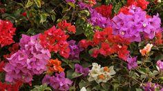 bougainvilleas flower pictures   Bougainvillea Flower wallpaper