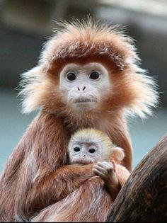 Javan Langur (Baby Owi) – Ursulla R - Baby Animals Primates, Mammals, Cute Baby Animals, Animals And Pets, Funny Animals, Beautiful Creatures, Animals Beautiful, Tier Fotos, Animals Of The World
