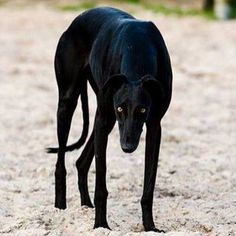 stunning black greyhound