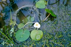frogbit is a floating aquatic perennial with rounded leaves across, and white flowers across, with a yellow spot on each petal Pond Plants, Aquatic Plants, Water Plants, Gardening, Planting, Flower Beds, White Flowers, Perennials, Climbers