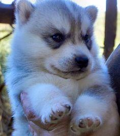 Wonderful All About The Siberian Husky Ideas. Prodigious All About The Siberian Husky Ideas. Siberian Husky Puppies, Husky Puppy, Siberian Huskies, Cute Puppies, Cute Dogs, Dogs And Puppies, Doggies, Beautiful Dogs, Animals Beautiful