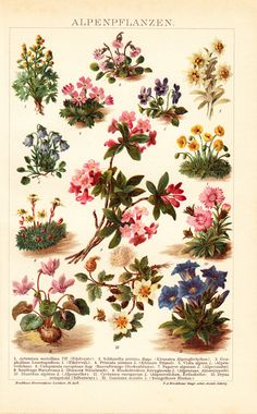 1908 Edwardian ALPINE FLOWERS print by VintageTreasureShop on Etsy, $18.50