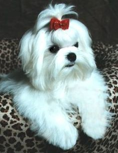 maltese hair cut