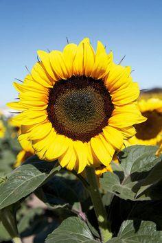 Diese Blume sieht aus wie eine Sonne. Sie heißt ...