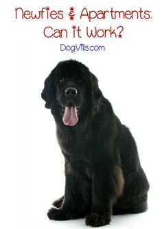 Is the Newfoundland large dog breed a good fit for your apartment life? Considering they can top out at 150 pounds, you might think they'd need a lot more space than you have. With proper dog training, though, the answer may actually surprise you! Learn more about Newfoundlands and how to help them adapt to life in a small space.