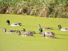 The duck I photographed earlier had some friends. So, I took a photo of them too.