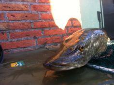 Doodaas vissen in Friesland.  2 februari 2013. 70 cm. De enige vangst van die ochtend. En weer rond 11 uur. Magische snoekentijd? Nog wel 3 lossers gehad. Waarschijnlijk geen grote jongens. Komt omdat ik met fikse makrelen vis en toch maar 1 dreg.