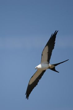The swallow tail kite has been our biggest surprise...they are beautiful...and they are great hunters. Twice, within a week, i saw one fly into the oak tree to snatch a meal...resulting in the loss of a mourning dove nestling and a mockingbird nestling.