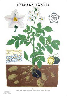 Svenska växter, old swedish school posters. Potatoplant