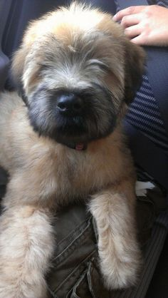 My 3 month old Wheaten terrier.