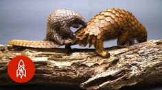 Learn About This Adorable Baby Pangolin While You Watch Him Pal Around With His Mom - World's largest collection of cat memes and other animals Baby Pangolin, Worlds Cutest Animals, Exotic Animals, Pet Rats, Pets, Baby Animals, Cute Animals, Wild Animals, Blue Lizard