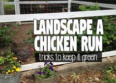 Coop Friendly Plants to Plant in your Chicken Run for Shade and Forage - Hawk Hill Plants For Chickens, Types Of Chickens, Urban Chickens, Raising Chickens, Chickens Backyard, Backyard Farmer, Keeping Chickens, Chicken Coop Run, Portable Chicken Coop