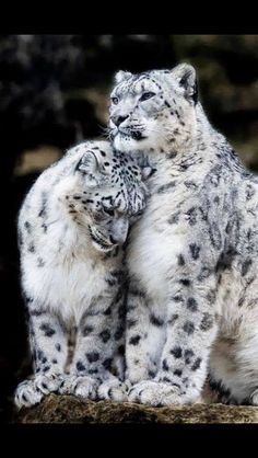 TOP 10 Emotional photos of animals Snow Leopard cuddle, big cats, leopards Animals And Pets, Baby Animals, Funny Animals, Cute Animals, Wild Animals, Animals Planet, Pretty Animals, Nature Animals, I Love Cats