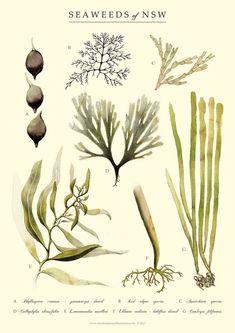 Seaweed of Australia Art Print by NicoleBerlach on Etsy Plant Illustration, Botanical Illustration, Watercolor Illustration, Watercolour, Botanical Drawings, Botanical Prints, Sea Plants, Nature Posters, Art Studios