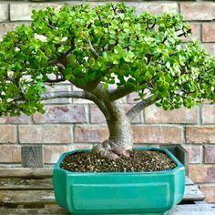Portalucaria afra Succulent Garden Design, Planting Succulents, Trees To Plant, Garden Items, Mini Garden, Jade Plant Bonsai, Jade Plants, Succulents, Plants
