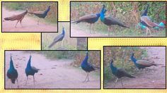 Peacocks and Peahens in group at evening