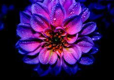 Beauty_of_flower_(Dalia)