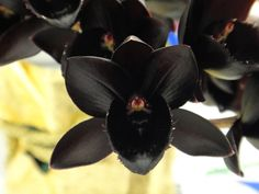 My favourite black orchid