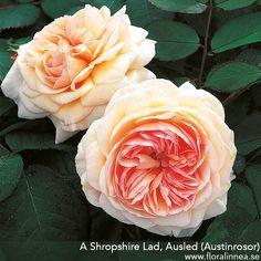 A Shropshire Lad - Flora Linnea