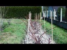 Framboisiers: Doublez votre récolte de framboises avec cette taille - YouTube