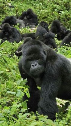 Beautiful Gorillas!