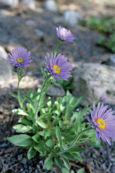 Alppiasteri Blue Flowers, Garden Plants, Different Colors, Rock, Skirt, Locks, The Rock, Rock Music, Batu
