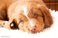 Oh my sweetness!! Baby Toller