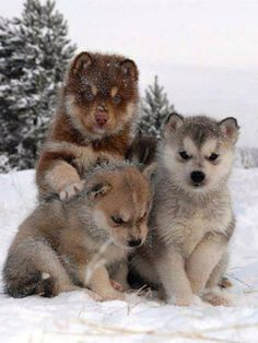 Husky Puppies ~ In The Snow.