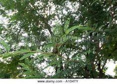 tamarindus – Vyhledávání Google Tamarind, Trees, Leaves, Google, Plants, Tree Structure, Tamarindo, Plant, Wood