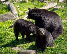Mama Bear and 5 Black Bear Cubs Caught Playing in Family Swimming Pool [Videos Included!]