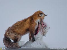 La favola delle due volpi Fotografia di Donald Gutoski