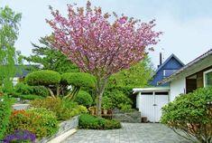 kirsikkapuu ja  ihana muotoon leikattu puu