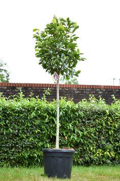 6ft Soulangeana Magnolia Tree   Half Standard   18L Pot £155.99 Pink Roses, Pink Flowers, Magnolia Soulangeana, Compost Soil, Magnolia Trees, Replant, Nature Plants, Edible Plants, Types Of Soil