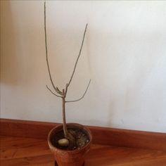 Baobab de 2 años, hibernando, febrero 2017. Se podo el tallo apical y luego las dos ramas superiores Se aprecia el notable engrosamiento de la raíz., que todavía no se han tocado  Hasta ahora ha crecido sin problema en tierra normal.  En las próximas semanas toca tranplantar. Usaré sustrato para cactus. Ph 7.