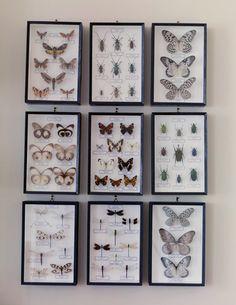 Taxidermy, butterflies