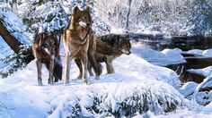 Wolves in Snow