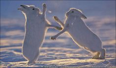 BBC News | Enlarged Image750 x 44064.1KBnews.bbc.co.uk  greenland rabbits    great pic   so cute
