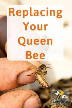 Does your beehive need a new queen? Keeping young queens in your hive will reduce swarming and increase productivity. #carolinahoneybees #queenbees #beekeepingtips