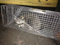 Trap-Neuter-Return is for cats, Mr. Coon! Raccoons don't care. We release them and they get trapped again  lol