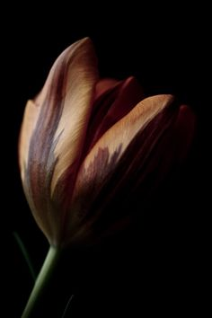 Tulip, very sensuous looking...want to touch, trace across my cheek