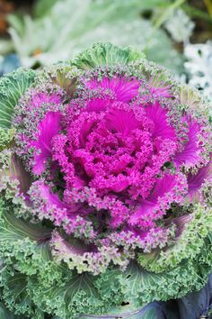 Flowering Kale & Cabbage - Incredible Fall Plants With Stunning Beauty! Cabbage Plant, Cabbage Flowers, Fall Flower Pots, Winter Flowers, Fall Plants, Green Plants, Growing Flowers, Planting Flowers, Flowering Kale