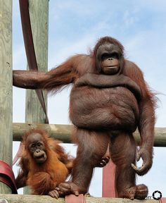 Monkey World Baby Orangutan Silvestre and Nurse Oshine Animals And Pets, Baby Animals, Monkey World, Slow Loris, Monkey Pictures, Baby Orangutan, Tropical Animals, Baboon, Cute Funny Animals