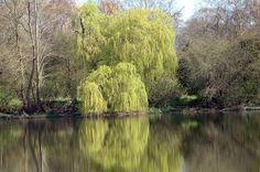Where to Find a Diamond Willow Tree thumbnail