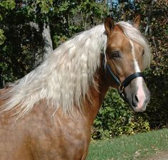 GabCreek Farm: Gab Creek Golden Vaquero, Palomino Foundation Morgan Stallion