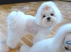 grooming styles for maltese dogs | japanese dog grooming styles - Google Search