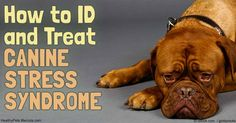 Canine stress syndrome is a relatively rare inherited disorder that can cause a dog to have potentially life-threatening reactions in response to specific triggers. http://healthypets.mercola.com/sites/healthypets/archive/2016/11/27/canine-stress-syndrome.aspx