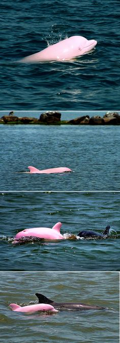 Pinky, the pink albino dolphin that lives in  Lake Calcasieu in Louisiana.