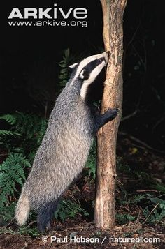 Badger sniffing tree trunk
