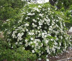 Photo of the rose 'Cherokee Rose' White Roses, Red Roses, Cherokee Rose, Rose Photos, Dream Garden, Wildflowers, Garden Landscaping, Flora, Gardens