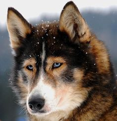 Husky mix how pretty